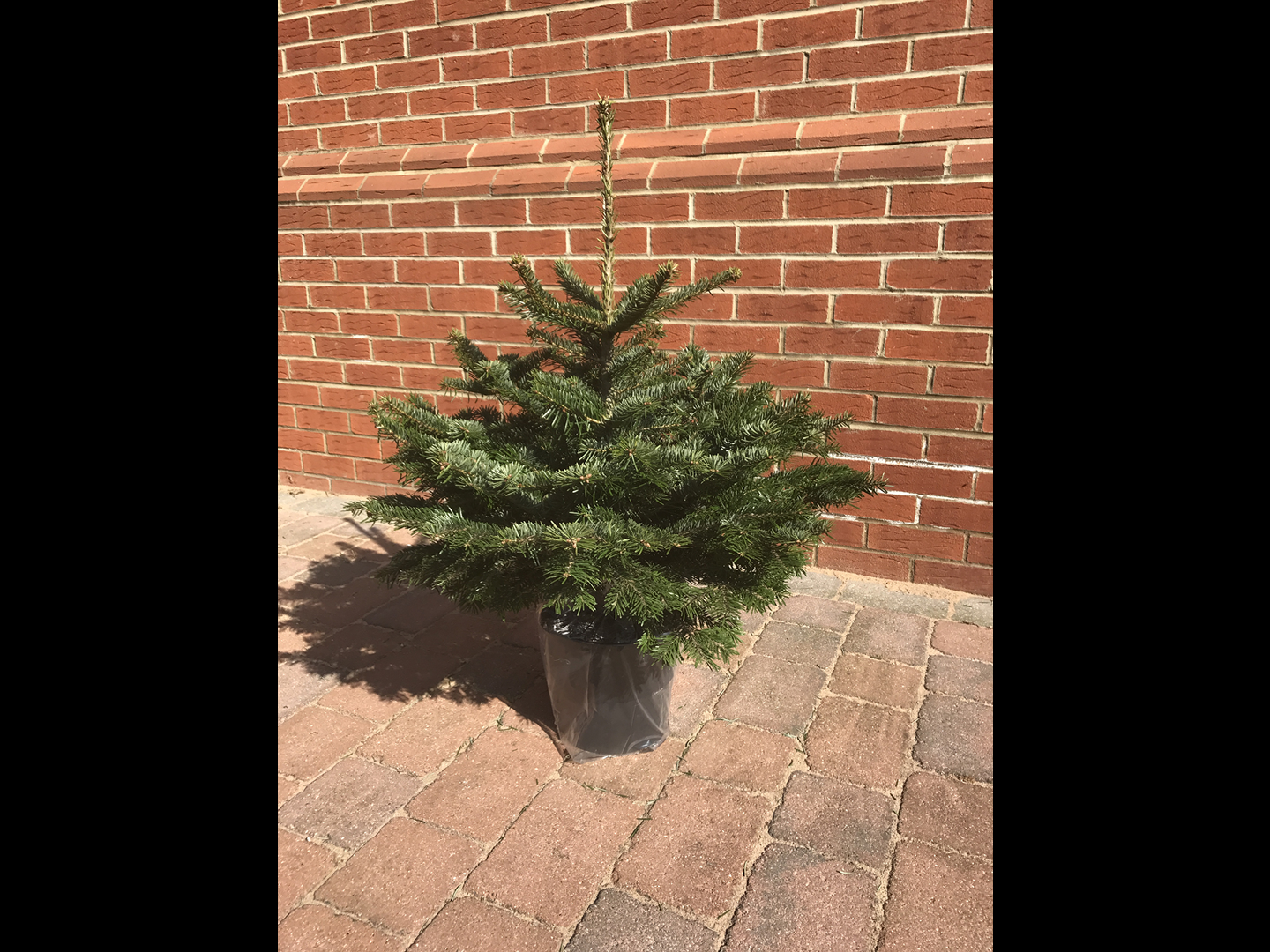 Wholesale Pot Grown Christmas Trees