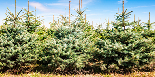 British Christmas Trees – Wholesaler & Grower - West Country Trees Ltd